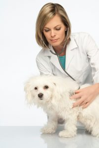Female Doctor Examining A Bichon Frise On A White Background.